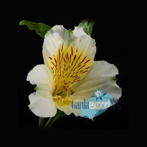 Calgary white alstroemeria garda