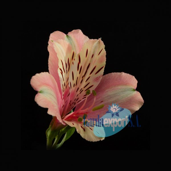 Dirty dance alstroemeria gardaexport