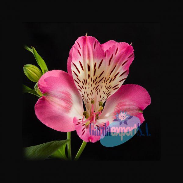 diva alstroemeria pink