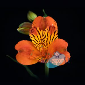 flame orange alstroemeria garda