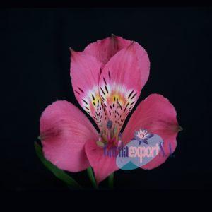 hercules gardaexport alstroemeria pink