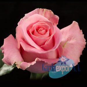 hermosa pink rose gardaexport