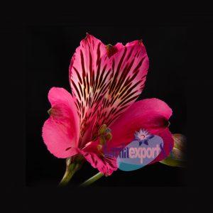 nice pink alstroemeria