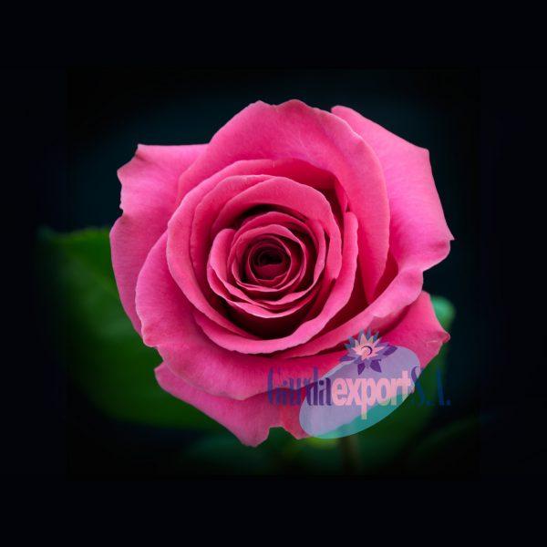 Pink floyd gardaexport