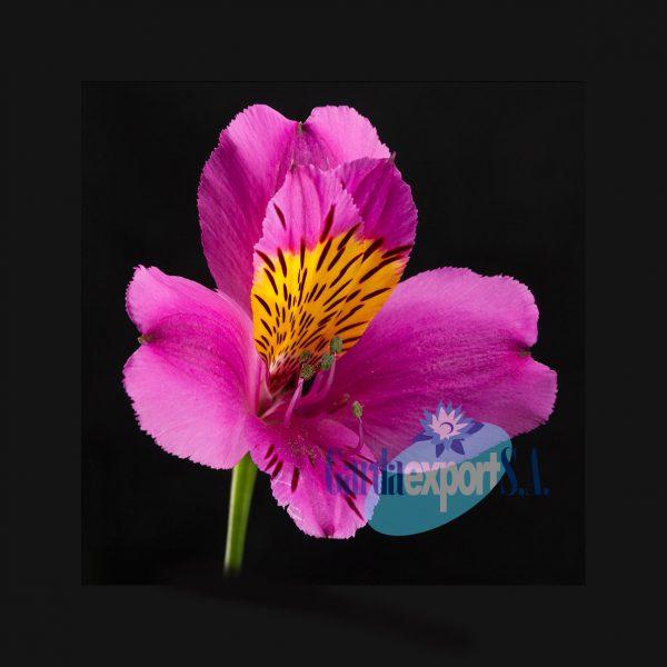 rocco alstroemeria lavender