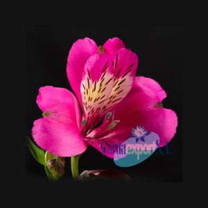stratus pink alstroemeria