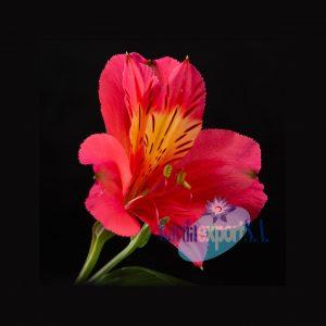 Sukari pink alstroemeria