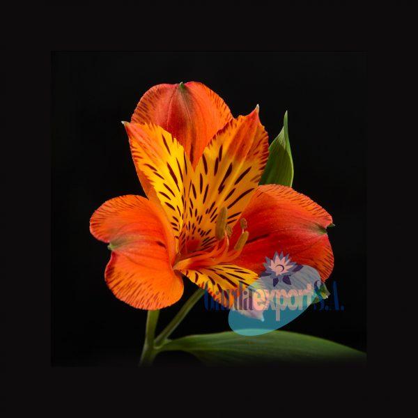 Valencia orange alstroemeria garda