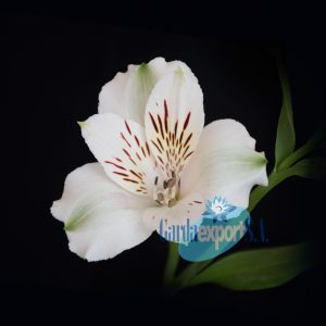 Virginia white alstroemeria