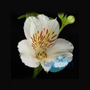 Whistler white alstroemeria