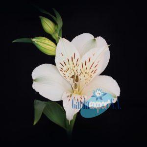 akemi white alstroemeria garda