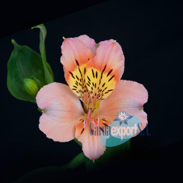 amulet pink alstroemeria