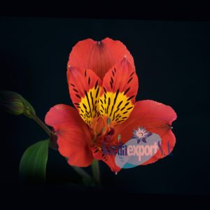 hot peppers alstroemeria garda