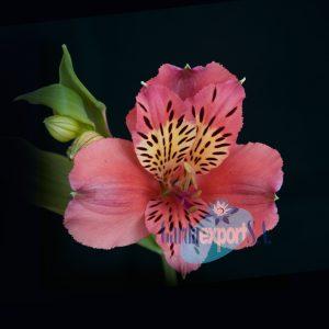 kodiak pink alstroemeria