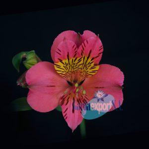amposta pink alstroemeria