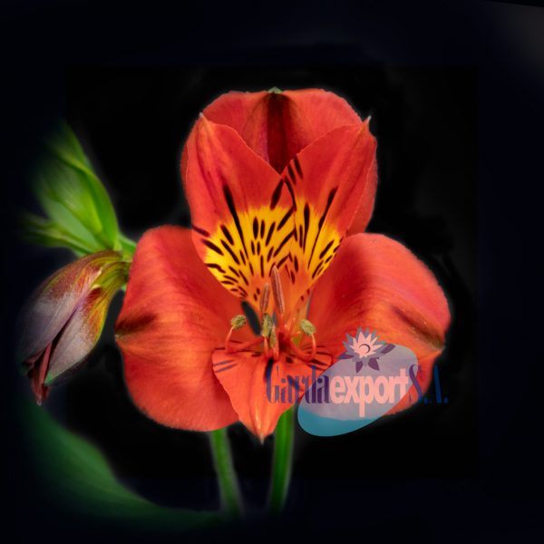 angelina red alstroemeria