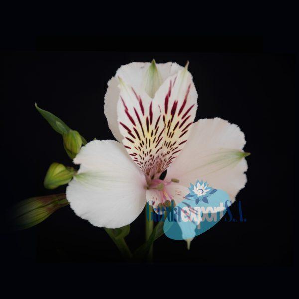 Himalaya white alstroemeria