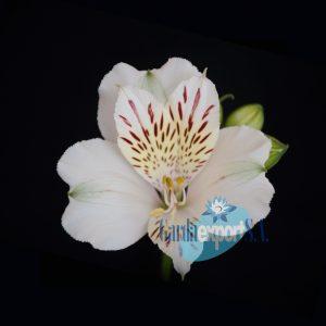 snowtime white alstroemeria