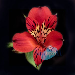 victory red alstroemeria