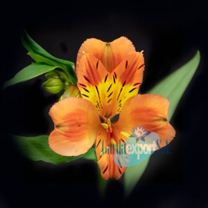 orange-queen alstroemeria garda