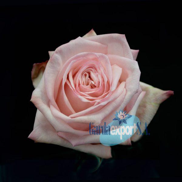 Pink ohara gardaexport