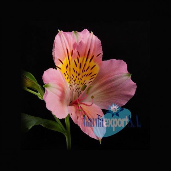 julia pink alstroemeria