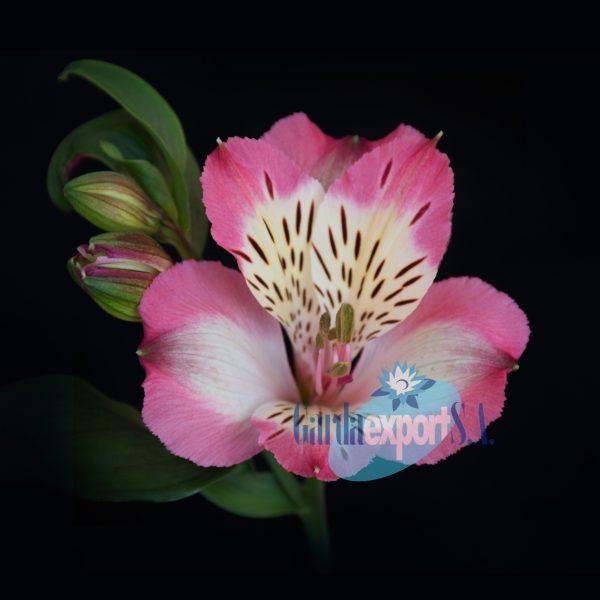 pumori alstroemeria pink
