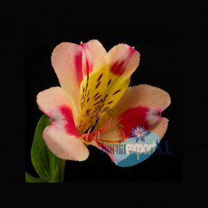 sylvan bicolor alstroemeria