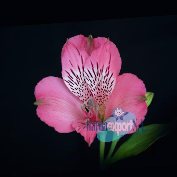 alegria pink alstroemeria