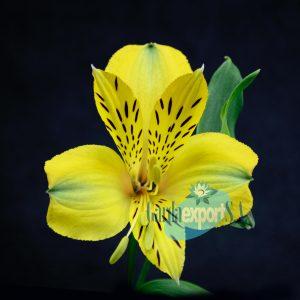 dimension yellow alstroemeria gardaexport