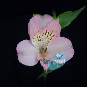 dubai alstroemeria pink gardaexport