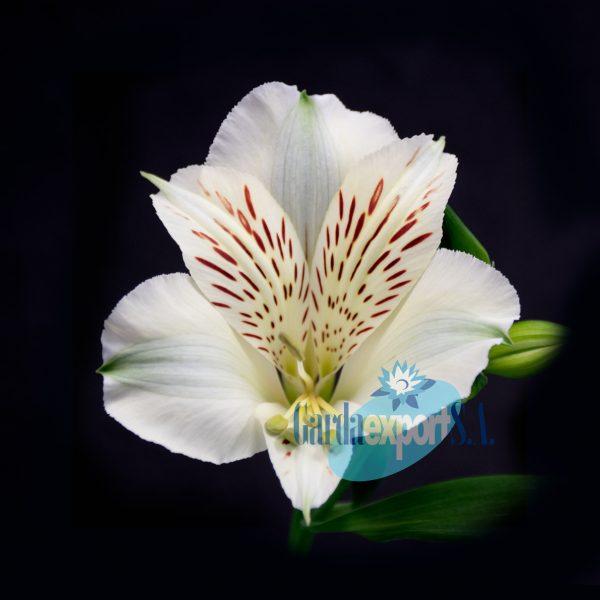Meribel white alstroemeria