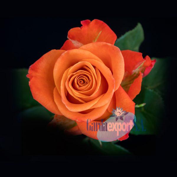 Orange crush gardaexport