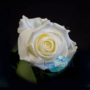 tibet gardaexport white rose