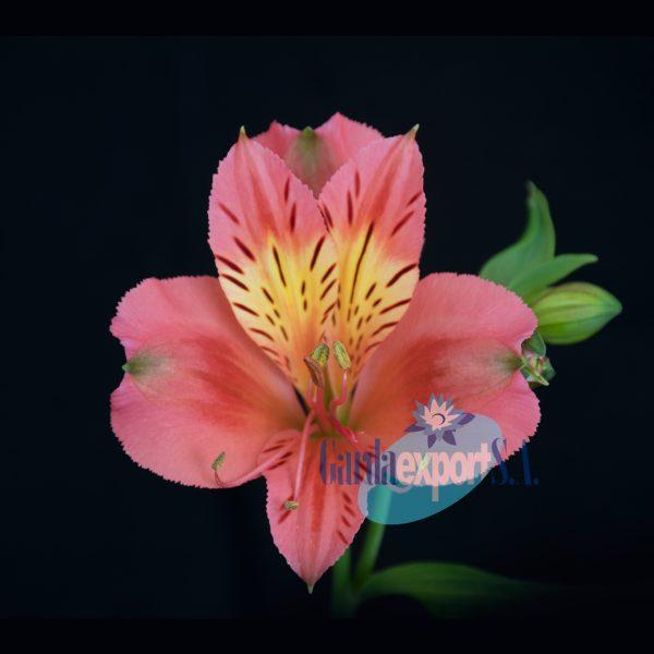 timor alstroemeria pink