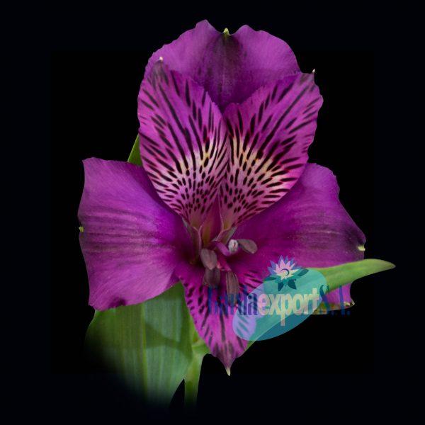 amatista purple alstroemeria
