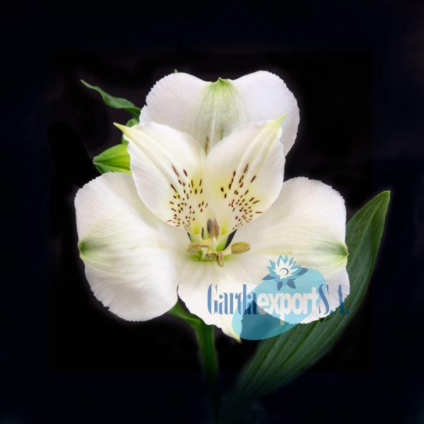 frozen white alstroemeria garda