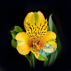 tiger alstroemeria yellow gardaexport